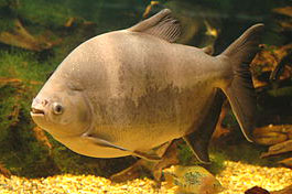 Рыба Бурый паку